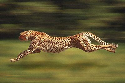 How Fast Do Cheetahs Run how fast do cheetahs run 5K